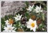<p>Эдельвейсы и альпийские анемоны</p>