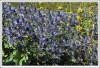 Цветы Erygnium alpinum
